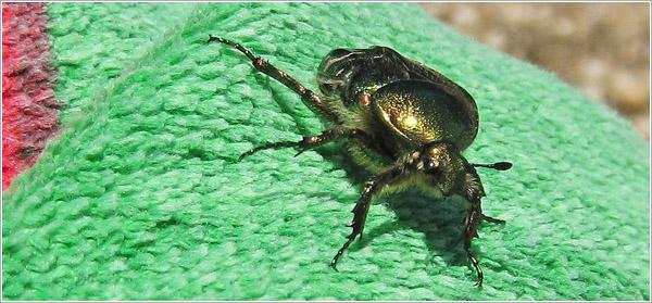 El escarabajo de Mljet